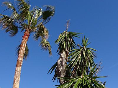 Palmen in Javea